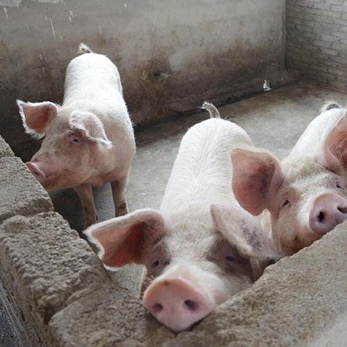 大量供应  农家自养生猪 绿色生态 量大从优