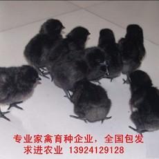 2018年五黑绿壳蛋鸡苗报价出厂价格含运费