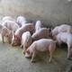 哲信养殖专业合作社 供应优质家养杂猪 生猪