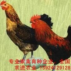 2018年麻羽绿壳蛋鸡苗价格 麻羽绿壳蛋鸡苗批发价格