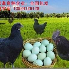 绿壳乌鸡苗厂家批发,全国包发绿壳乌鸡苗价格实惠