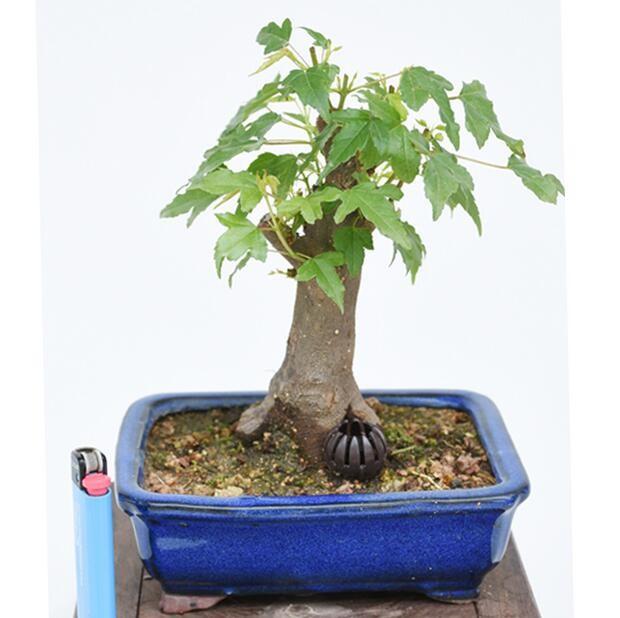 上林苑 三角楓盆景 辦公室綠植 三角楓微型樹樁盆栽 小品桌面盆景