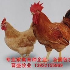 竹料鸡苗养殖技术,竹料鸡苗批发商现场培训