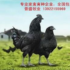 黑凤乌骨鸡苗养殖技术,黑凤乌骨鸡苗批发商现场培训