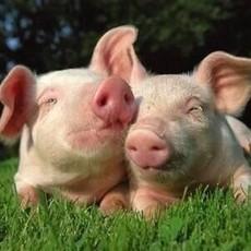 庆城县建安养殖  小猪仔8kg
