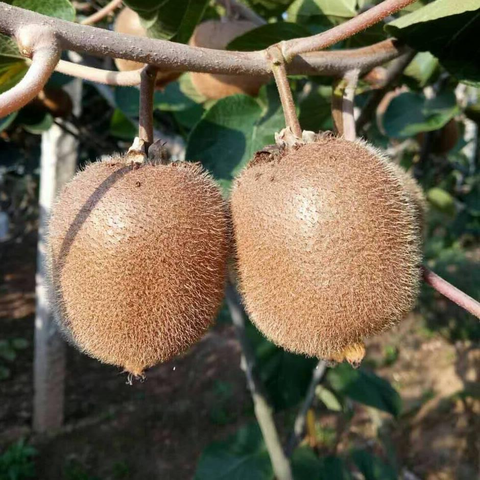 现货当季周至哑特猕猴桃现摘奇异果孕妇水果新鲜水果5斤包邮