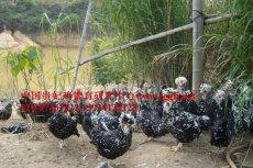 贵妃鸡养殖技术视频 皇家贵妃鸡