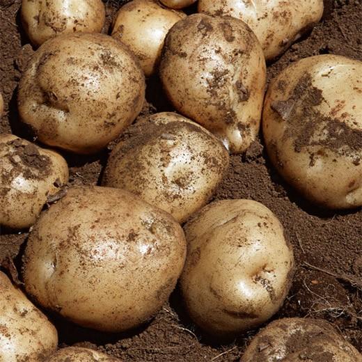 批发新鲜马铃薯土豆
