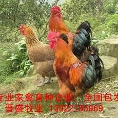 土鸡苗价格行情,种鸡场诚招土鸡苗批发经销商