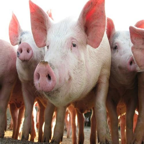 优质农家自养 生猪 长白猪  瑞泽养殖供应