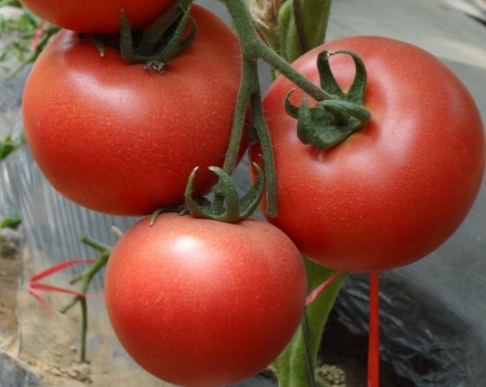 高抗ty病毒粉果大番茄种子