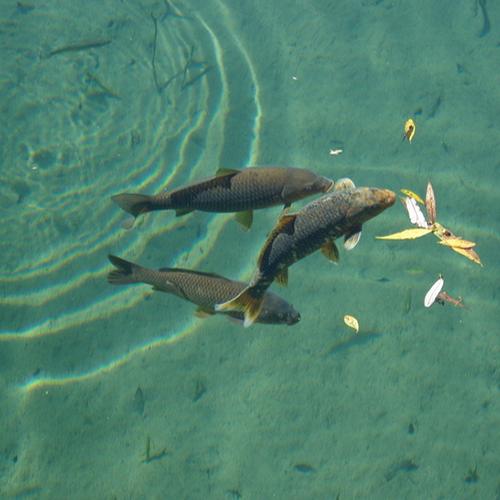 供应 农家养殖优质淡水鱼 草鱼