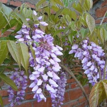 供应多花紫藤树苗 攀援花卉 爬藤植物