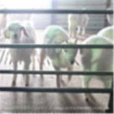 引进波尔萨能努比羊仔 山羊长势快 批发零售 厂家直销 欢迎咨询