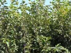 出售甜柿子苗 甜柿子苗批發 甜柿子苗基地