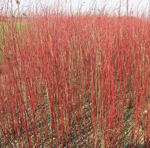 红栌、红宝石海棠、红瑞木、红叶小檗、金叶女贞园艺苗木花卉