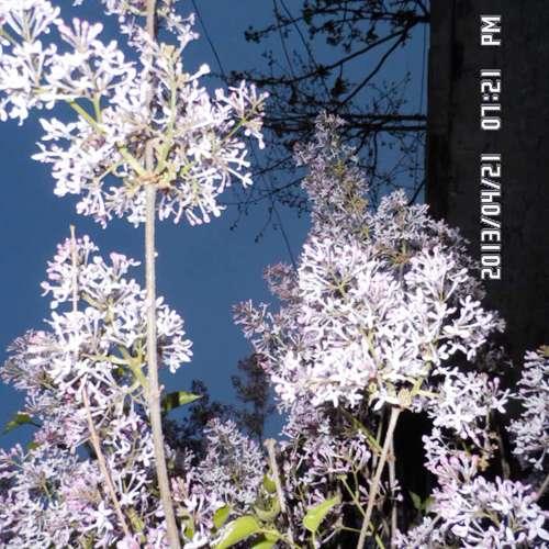 供应内蒙紫花丁香河北丁香价格