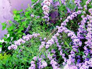 金叶接骨木(价格),紫花醉鱼木,黄瑞木,千屈菜,连翘,四季红玫瑰诚信苗圃