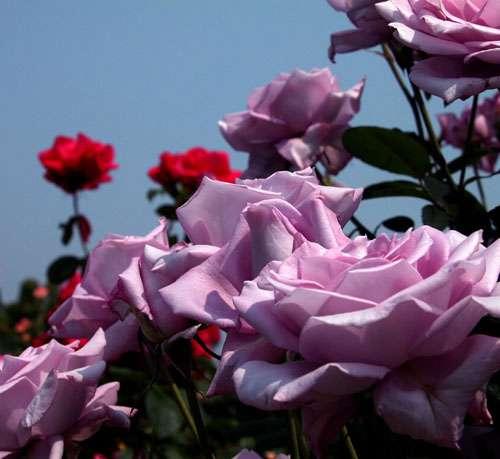 叢生榆葉梅、珍珠梅、黃刺梅、四季紅玫瑰、薔薇河北花灌木園藝苗木