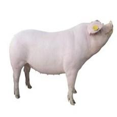 家猪,无添加激素饲料,天然养殖