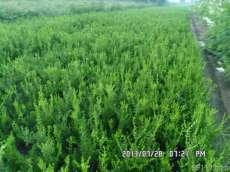 出售朝鲜黄杨 朝鲜黄杨价格朝鲜黄杨苗木基地