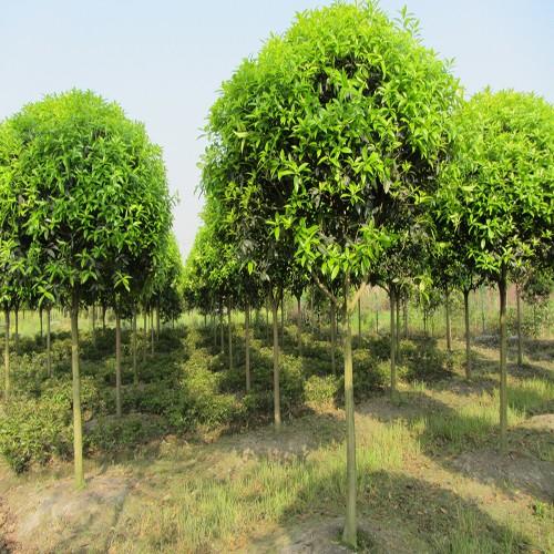 供应桂花树 园林绿化 道路景观观赏苗木
