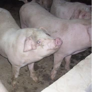 山西晋城优质大白猪
