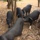 农家土猪肉 新鲜排骨 纯粮食 菜叶子 喂养的土猪
