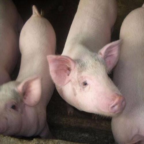 供应优质生猪、优良三元猪、