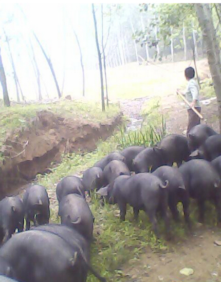 供应 大约克 大白 长白 苗 三元仔猪 黑种猪 厂家直销欢迎来电
