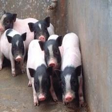 香猪,肉质细嫩,营养丰富
