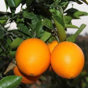 新鲜水果赣南脐橙10斤起批江西甜橙子批发产地直供赣州特产