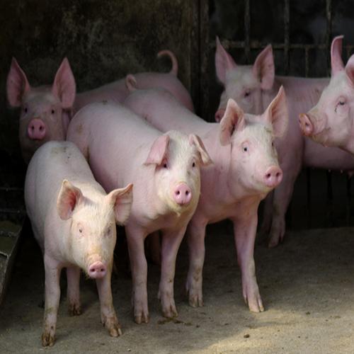 供应 农家养殖 优质生猪 正宗农家猪