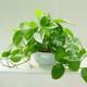 绿萝盆景  净化空气、吸收甲醛、易存活   供应
