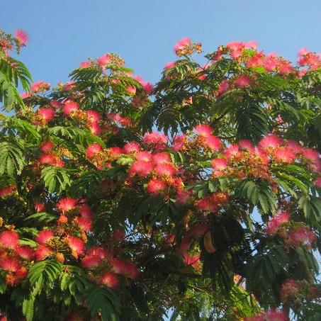 合欢树树苗 产地直销  花木供应 精品
