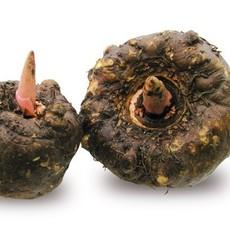 魔芋种子  魔芋种植基地直销 云南魔芋种子