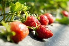 大量供应新鲜草莓 章姬草莓