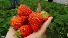 甜查理草莓上市 欢迎选购