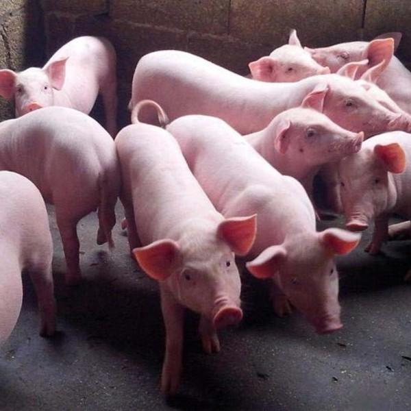 供应 散养天然肉猪 生猪 无公害生猪