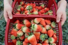 新鲜草莓上市 大量供应