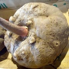 【生态魔芋】新鲜魔芋|鲜魔芋批发|鲜花魔芋