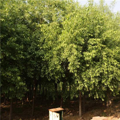 鄢陵园林常年供应2-8公分丝棉木,树形好,价格优,龙伟鹏个体经营