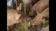 农家生态猪自繁自养  生态养殖  纯天然无污染