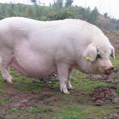 放养生猪,绿色生态,好吃更健康