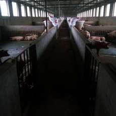 农家养殖生猪  天然养殖  健康更放心