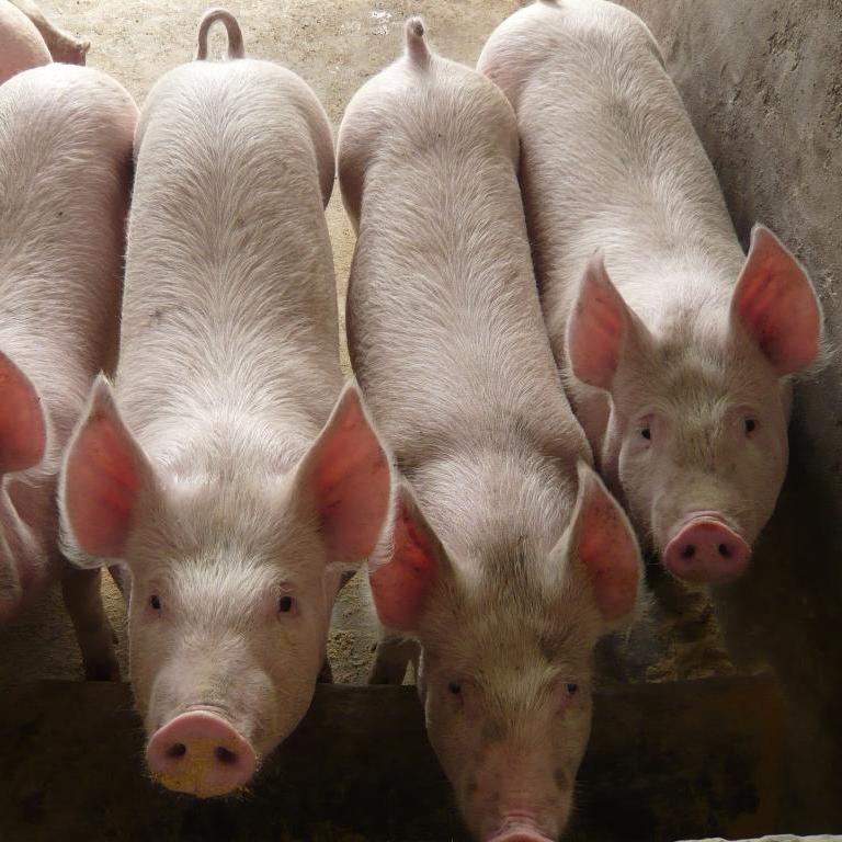 厂家批发 优质生猪 杂三型 绿色天然原生态猪
