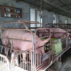 农家养殖生态生猪,绿色养殖,吃的更放心