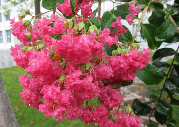 百日红 鄢陵花木基地供各种规格百日红