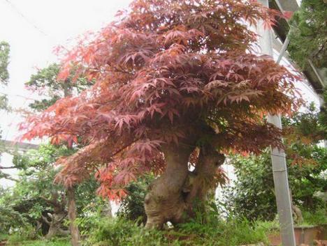 红枫盆景 红枫盆栽 绿植花卉 基地直销