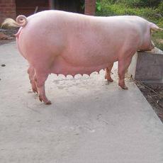 批发普通种母猪